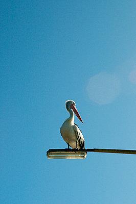 Australian Pelican on street lamp - p1170m1004571 by Bjanka Kadic