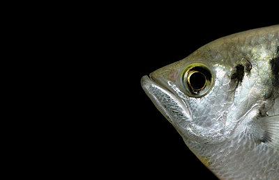Schützenfisch - p4500317 von Hanka Steidle