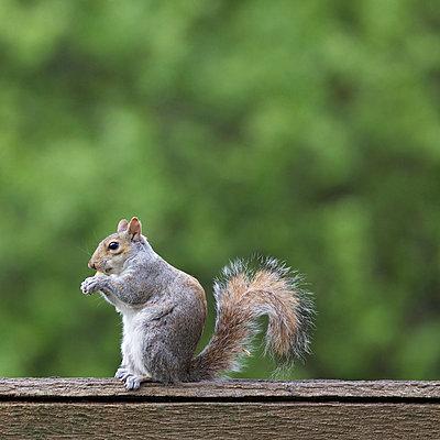 Grauhörnchen frisst - p606m938047 von Iris Friedrich