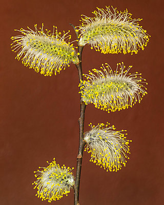 Pussy Willow Going to Seed against Rust Background - p694m2068717 by Lori Adams