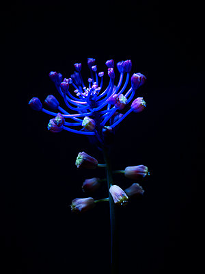 Blue flower with blossoms and buds - p885m2176142 by Oliver Brenneisen