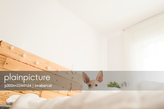 Low angle portrait of dog on bed against white wall at home - p300m2244124 by skabarcat