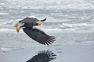 Steller's Sea Eagle, Haliaeetus pelagicus, mid-air, winter. - p1100m1520165 by Mint Images