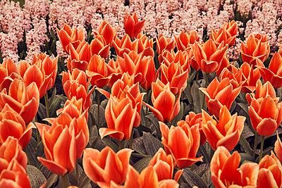 Field of tulips - p1305m1138663 by Hammerbacher