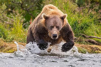 Alaska Peninsula brown bear (Ursus arctos horribilis) hunting for salmon, Katmai National Park, Alaska, USA - p343m1578102 by Grant Ordelheide