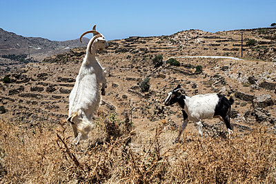 Two goats fighting - p445m1159664 by Marie Docher