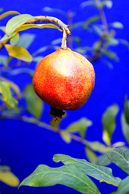 Pomegranate - p754m887000 by Valea Diller-El Khazrajy
