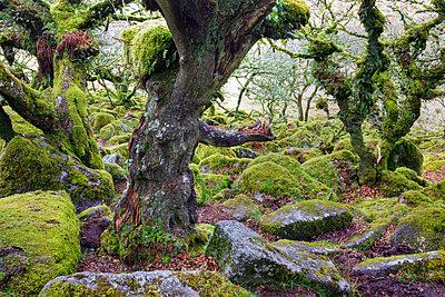 Twisted oak trees grow amongst the mossy boulders in Wistmans Wood - p8714122 by Adam Burton