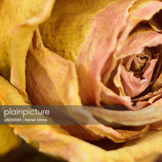 Rosenblüte - p5090069 von Reiner Ohms