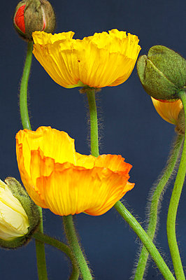 Yellow poppies - p4730102f by Stock4B