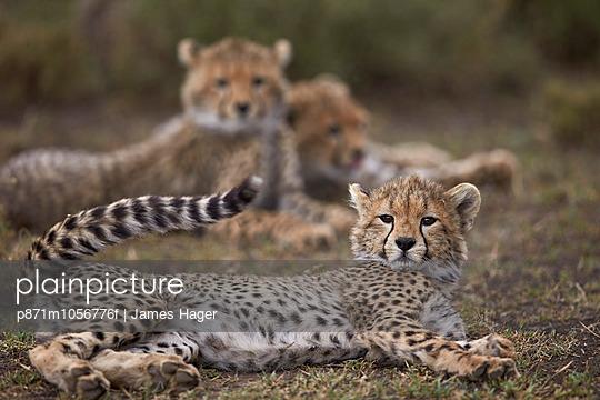 Cheetah  cub, Serengeti National Park, Tanzania, East Africa, Africa - p871m1056776f by James Hager