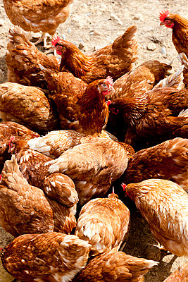 Hens - p248m932976 by BY