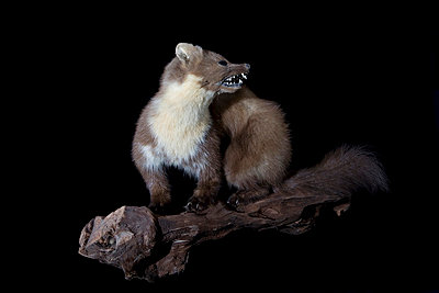 Padded pine marten  - p8520009 by Astrid Schulz