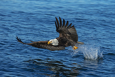 A bald eagle (Haliaeetus leucocephalus) fishes along the shoreline in Southest Alaska; Alaska, United States of America - p442m940833f by John Hyde