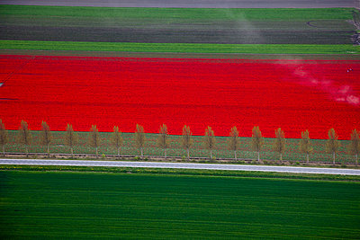 Tulipfield - p1120m948350 by Siebe Swart