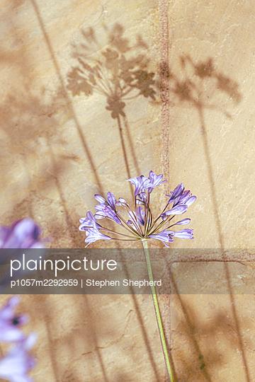 Agapanthus flowers  - p1057m2292959 by Stephen Shepherd