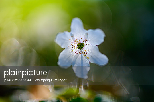 Wood anemone, Anemone nemorosa, Danube-Auen - p1463m2292944 by Wolfgang Simlinger