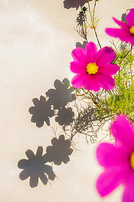 Close-up of cosmos plant with pink flowers and shadows falling on light cream wall - p1047m2133410 by Sally Mundy