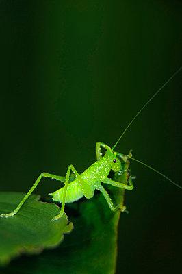 Green cricket - p4428396f by Design Pics