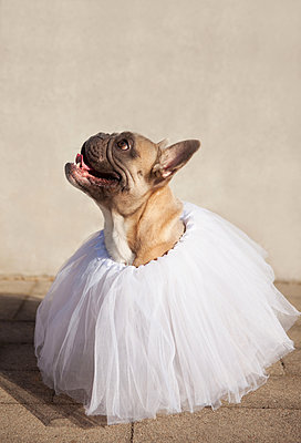 Hund im Tutu - p045m1181820 von Jasmin Sander