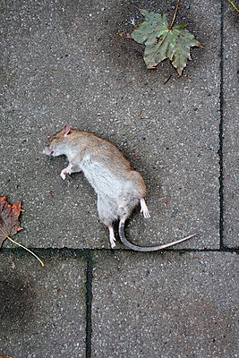 Ratte - p1189m1067912 von Adnan Arnaout