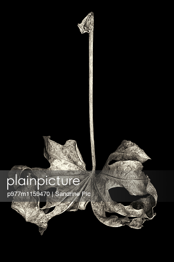 Vertrocknetes Blatt auf schwarzem Hintergrund - p977m1159470 von Sandrine Pic