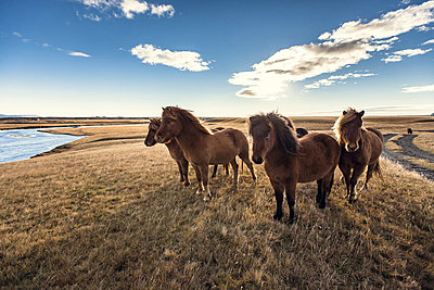 Group of horses standing in the field next to Ranga river in Iceland - p1084m857931 by Operation XZ