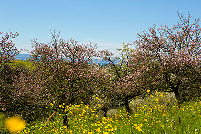 Apple trees   - p2481257 by BY