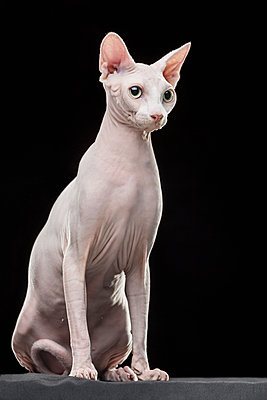 Sphynx hairless cat looking away while sitting against black background - p301m1130790f by Vladimir Godnik