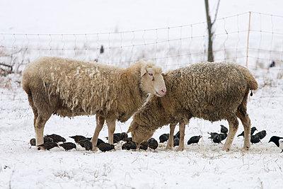 Schafe und Stare - p4170177 von Pat Meise