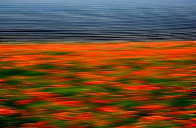 Poppy field - p813m815852 by B.Jaubert