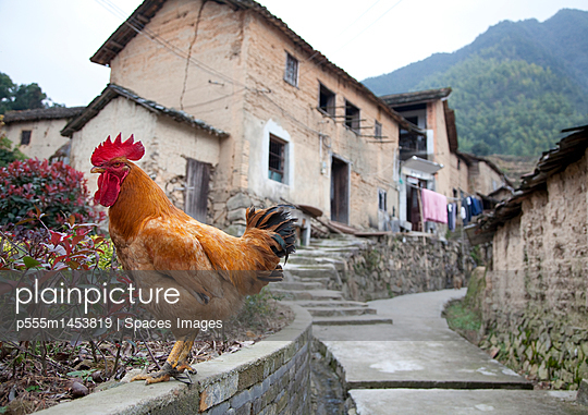 Rooster Perched on a Roadside Wall