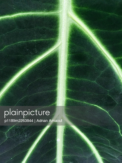Leaf veins - p1189m2263844 by Adnan Arnaout