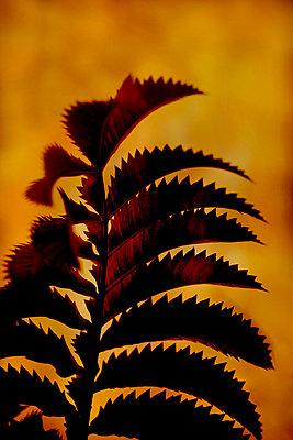 Honey Bush leaf (Melianthus major) - p1028m2230445 by Jean Marmeisse