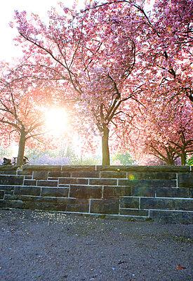 Cherry blossom - p179m1475987 by Roland Schneider