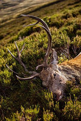 Dead deer - p312m2051809 by Hans Berggren