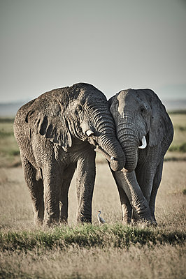 Two elephants, side by side, Kenya - p706m2158433 by Markus Tollhopf