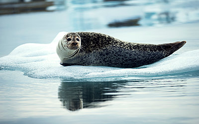 Grey seal (Halichoerus grypus) lying on an ice floe in Arctic waters. - p1100m1482343 by Mint Images