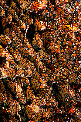 Monarch butterfly wintering colony, Danaus plexippus, Michoacan, Mexico - p1100m875016 by Frans Lanting
