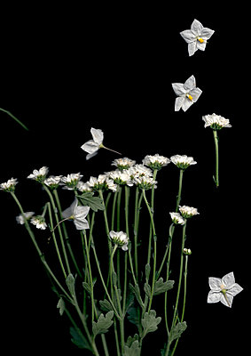 White flowers and petals - p1248m2008572 by miguel sobreira