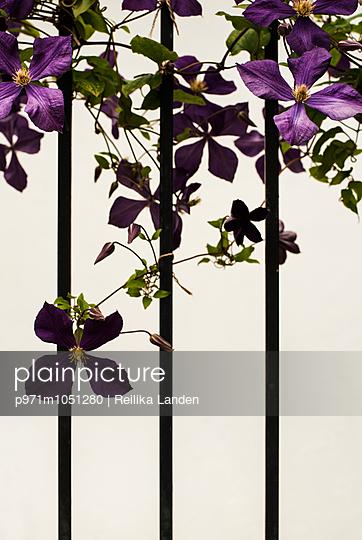 Clematis flower on fence - p971m1051280 by Reilika Landen
