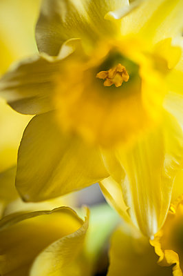 Close-up of daffodil flowers - p1047m967964 by Sally Mundy