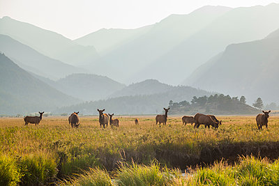 Elk grazing in meadow at sunset in Rocky Mountain National Park - p1166m2130203 by Cavan Images