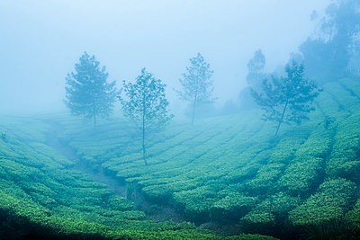 Tea plantations in mist, Munnar, Western Ghats Mountains, Kerala, India - p871m2035538 by Photo Escapes