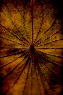 Sacred lotus leaf (Nelumbo nucifera) - p1028m2207541 by Jean Marmeisse