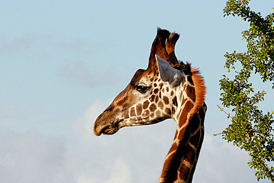 Giraffe - p6180046 by Capturaimages