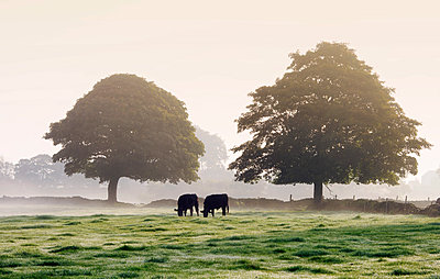 England, West Yorkshire, Calderdale. Cattle grazing on a misty morning in early autumn. - p651m2006869 by Robert Birkby