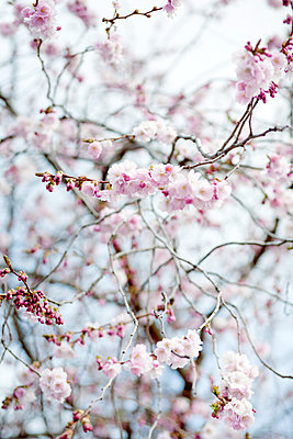 Close-up Of A Blooming Cherry Tree In Stockholm, Sweden   - p847m2104870 by Johanna Norin