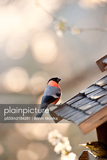 A smart bullfinch on the bird feeder - p533m2184281 by Böhm Monika