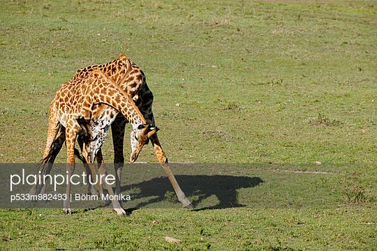Fighting male giraffes - p533m982493 by Böhm Monika